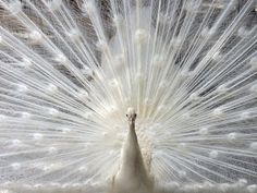 White peacock- just because it's beautiful.