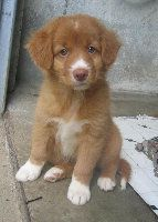 Duck Toller puppy