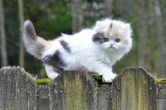 Persian kittens  Ultra Rare CoLoRs w/sweet Dollface
