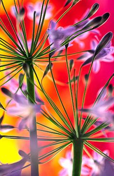 Agapanthus 0531, fine art flower & botanical photography by Andy Small
