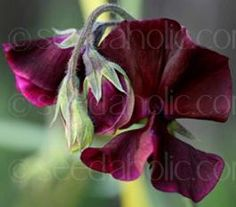 """Sweet Pea """"Beaujolais"""" is a tried and tested Spencer variety. It has beautiful deep wine-red blooms of ruffled petals."""