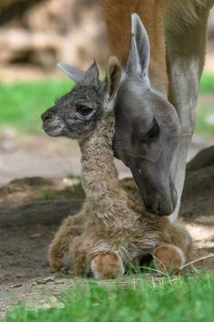 Zoo Praha, in the Czech Republic, welcomed their second Guanaco birth of the year on September 10. The Guanaco (Lama guanicoe) is a camelid native to the mountainous regions of South America. Llamas are descendants of wild Guanacos that were domesticated 6,000 to 7,000 years ago. Check out ZooBorns to learn more! http://www.zooborns.com/zooborns/2015/09/second-guanaco-birth-of-the-year-in-prague.html