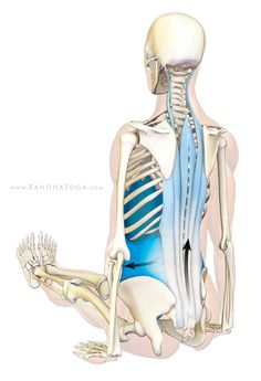 Lengthening the Torso in Forward Bends - Clinical studies have demonstrated an association between low back pain and inefficient engagement of the abdominals. All of this has implications for the use of Uddiyana Bandha, both for protecting against low back strains and for potentially improving the treatment of low back pain through yoga.