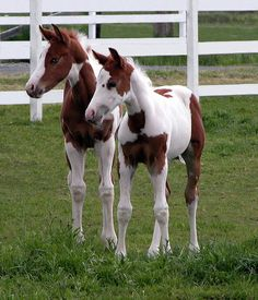 Two cute Paint foals.