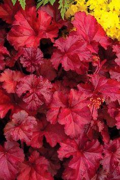 Fire Chief Heuchera Coral Bells Plant, Coral Bells Heuchera, Purple Plants, Shade Plants, Strawberry Hydrangea, Autumn Fern, Japanese Painted Fern, Garden Terrarium, Terrariums