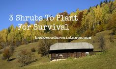 If you are designing a survival retreat where you can weather the coming storm; you might want to plant these 3 unique, productive, perennial shrubs. Survival Tools, Survival Prepping, Emergency Preparedness, Survival Stuff, Unique Plants, Exotic Plants, Planting Shrubs, Garden Plants, Edible Plants