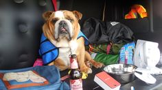 A very hot day in July at the Tin Soldiers scooter Rally has my Bulldog really chilled, & all the battery fans helped to keep Charlee girl happy as hell xxx