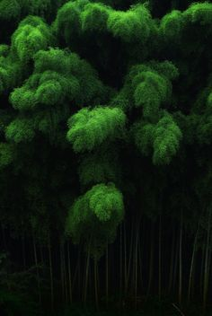 Bamboo forest in Nara, Japan