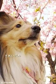 Sheltie by the Cherry Blossom Trees