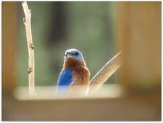 Bluebird through porch railing