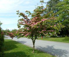 Small Spring-Flowering Trees | Ohio Gardener Web Articles.   Kousa Dogwood