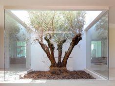 Un olivo, centro de atención en el patio