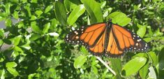 Tropical Milkweed and Pesticides Not Good for Monarchs!