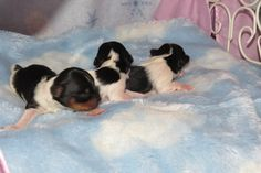 Tri-Colored Yorkies  The Males