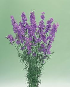 Tall, spike type lilac flowers show much more tolerance to disease than other Larkspur series of this double flowers are used as a commercial cut flower in greenhouse or outdoor cultures. Lilac Flowers, Cut Flowers, Cold Frame, Spring Blooms, Delphinium, Seed Starting, Flower Show, Early Spring, Planting Seeds