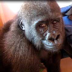 Aug 9, 2012: Illegally kept baby gorilla confiscated in Equatorial Guinea, seizure of 'bushmeat orphan' triggers major gov't awareness campaign :: www.seethewild.org