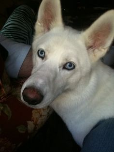Help find pure White Siberian Husky, Annabelle, missing since January 28, 2014. See her Facebook page, Finding Annabelle Yemma.