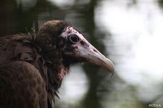 Vautour moine, Zoo de Beauval, 2012-08-16