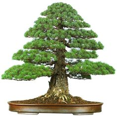 bonsaitoday: Japanese White Pine Pinus Parviflora, Bonsai Today #80, Cover
