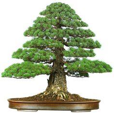 bonsaitoday: Japanese White Pine Pinus Parviflora, Bonsai Today #80, Cover