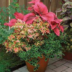 Solenostemon scutellarioides (Coleus, Flame nettle, Painted nettle) - Fine Gardening Plant Guide - designing container gardens with coleus plants Container Flowers, Container Plants, Container Gardening, Succulent Containers, Coleus Care, Fine Gardening, Organic Gardening, Vegetable Gardening, Gardening Courses