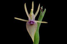 Miniature-orchid / Micro-orquídea: Hofmeisterella eumicroscopica - Flickr - Photo Sharing!