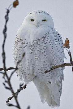 Snowy Owl, photo by Sean Rooney