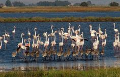 Flamingos in Maremma Tuscany with young: fab pic