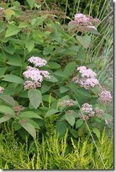 Spirea  http://fishtailcottage.blogspot.com/2011/06/this-week-in-garden.html