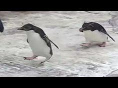 Penguins Chase After A Butterfly.