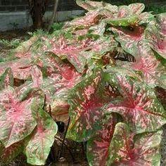 Caladium hortulanum 'Carolyn Whorton' - Fancy Leaf Caladium www.vanbloem.com #vanbloemgardens #flowerbulbs #caladium