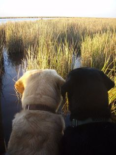 Labs and Lowcountry marsh ❤️