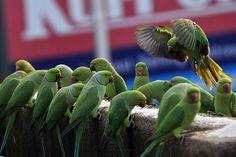 CONGREGATION OF PARAKEETS IN CHENNAI CITY by vijvijvij, via Flickr