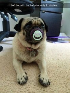 Pug sucking on a pacifier? Why does this not surprise me?