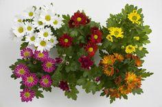 Krysanteemin hoito | Viherpiha