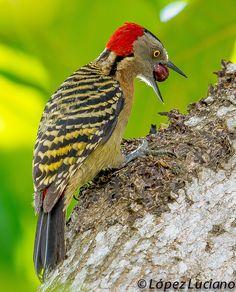 The Hispaniolan Woodpecker (Melanerpes striatus) is a medium-sized woodpecker endemic to the Caribbean island of Hispaniola.
