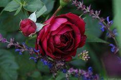 'Highgrove' Rose - Modern climber. Mild fragrance. Hardiness?:
