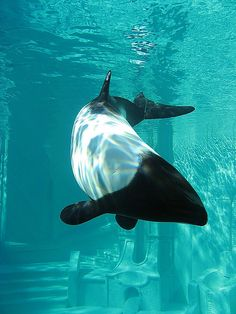 Commerson Dolphin Commerson's dolphin The cutest dolphins Underwater Sea, Underwater Creatures, Ocean Creatures, Life Under The Sea, Water Animals, Wale, Sea And Ocean, Sea World, Marine Life