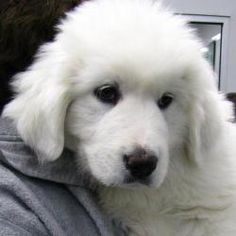 Marshmallow - RECOVERING FROM PARVO is an adoptable Great Pyrenees Dog in Cookeville, TN.