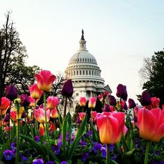 Tulips Rising, Capitol Dome #America #Tulips  | Instagram | Mike Lurie