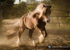 Stallions - Starfire Gypsy Horses