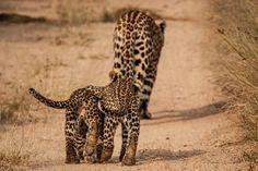 Lady Ravenscourt leads two of her cubs along a path in  Singita Sabi Sand #singita