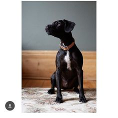 Thank you @catgarciaphoto for this wonderful picture of Bernard pho graphed for @sohohouse for the first issue of House Notes. Cat so beautifully captured his constant alertness. Thank you. #photography #alert #dogphotography #myboy #home #dogs #dogtrainerslife #myoffice #snooze #dogfriendship
