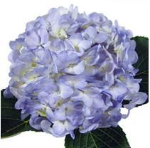 New idea! Order flowers in bulk from Sam's Club! I know at least 3 people with experience in arranging flowers who I'm sure would be willing to help! Floral Wedding, Diy Wedding, Wedding Flowers, Wedding Ideas, Dream Wedding, Happy Flowers, Beautiful Flowers, Sams Club Flowers, Hydrangeas For Sale