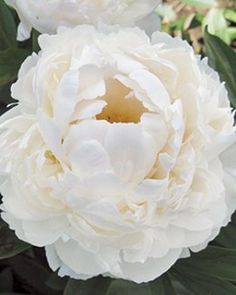 """""""Allan Rogers"""" Peony  Compact at 24"""" high, fragrant and sturdy even after rains  $24.99"""