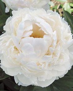 Peony, Allan Rogers, Paeonia lactiflora 'Allan Rogers'
