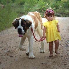 Little girl walking Saint Bernard