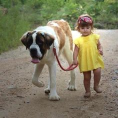 Little girl walking Saint Bernard