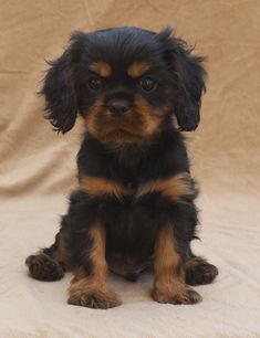 Black and Tan Puppy pictures - Cavalier King Charles Spaniel Blog - Mokido