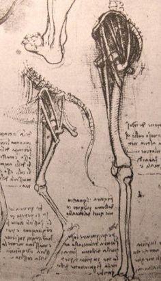 http://www.leonardo-da-vinci-biography.com/images/leonardo-da-vinci-anatomy.2.jpg  Leg of a dog compared to a man.